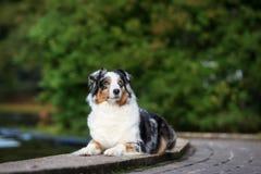 Australian shepherd dog posing outdoors Royalty Free Stock Photos