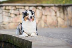 Happy australian shepherd dog posing outdoors Stock Photography