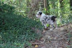 Merle Australian Shepherd Puppy azul na floresta imagens de stock royalty free