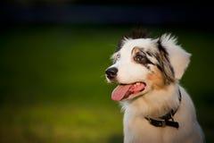 merle australiano del pastore del cane Fotografie Stock Libere da Diritti