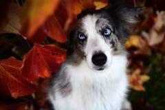 Merle azul border collie com olhos azuis de surpresa imagens de stock