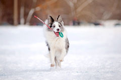 Border collie dog running with toy in winter Stock Photography