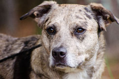 Merle Catahoula Cattledog Dog Stock Images