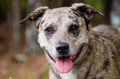 Merle Catahoula Cattledog Dog Royalty Free Stock Photos