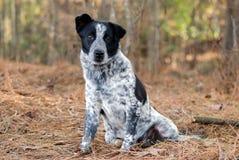 Merle cattledog heeler mixed breed puppy. Dog, Walton County Animal Control, humane society adoption photo, outdoor pet photography stock image