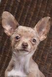 Merle chihuahua dog close-up. Short-haired merle chihuahua dog looking at the camera Royalty Free Stock Photo