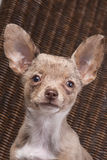 Merle Chihuahua-Hundenahaufnahme Lizenzfreies Stockfoto