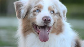 Merle color aussie male stock video footage