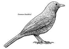 Merle commun, illustration de merula de Turdus, dessin, gravure, encre, schéma, vecteur illustration stock