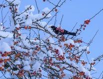 Merle dans l'arbre de pomme sauvage photographie stock libre de droits