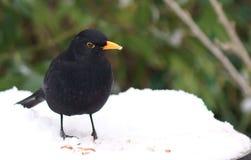 Merle dans la neige avec des vers de terre Photographie stock libre de droits