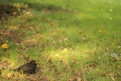 Merle dans le Turdus Merula de parc Photos libres de droits