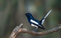 Merle de pie ou saularis orientaux de Copsychus, oiseau noir Photo stock