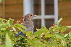 Merle femelle dans l'arbre d'Amelanchier photo libre de droits