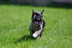 Merle French Bulldog som puppyruning i gräset royaltyfria bilder