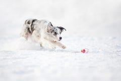 Gränsa collien förföljer spring för att fånga en toy i vinter Royaltyfri Foto