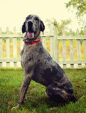 Merle Great Dane. 1 year old stock photography