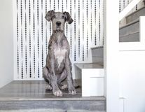 Merle great dane que se sienta en las escaleras fotos de archivo