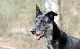 Merle Greyhound blandad avelhund Royaltyfri Fotografi