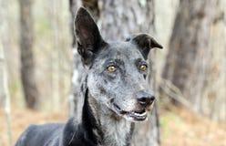 Merle Greyhound blandad avelhund Royaltyfria Bilder