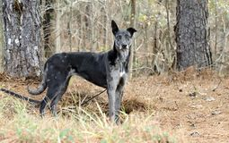 Merle Greyhound mixed breed dog. Female merle colored Greyhound sight hound mixed breed dog on leash in pine tree forest. Outdoor pet adoption photography for stock photography