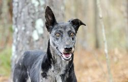 Merle Greyhound mixed breed dog. Female merle colored Greyhound sight hound mixed breed dog in pine tree forest. Outdoor pet adoption photography for Walton royalty free stock photography