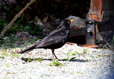 MERLE. Pet birds in search of food. The blackbird is part of the thrush family and only the male is totally black Stock Image