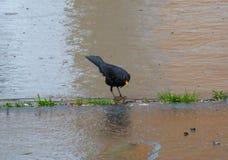 Merle recherchant des vers sur le trottoir humide Image libre de droits