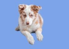 Merle rosso border collie sui precedenti blu fotografie stock