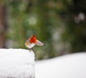 Merle rouge dans la neige avec l'aile tendue Images stock