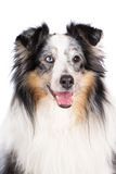 Merle sheltie dog Royalty Free Stock Images