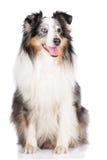 Merle sheltie hond Royalty-vrije Stock Afbeeldingen