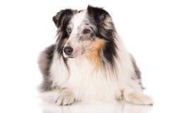 Merle-sheltie Hund Stockbild