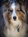 Merle Shetland Portrait arkivbilder