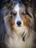 Merle Shetland Portrait. Finely detailed portrait of a Blue Merle Shetland Sheepdog. Lots of hair stock images