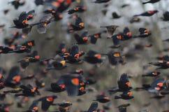 Merles à ailes rouges en vol photo libre de droits