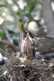 Merli nel nido Fotografia Stock Libera da Diritti