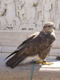 A merlin. A merlin (Falco columbarius), Budapest Stock Photos