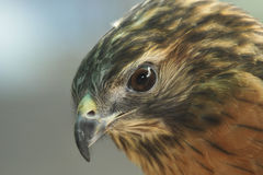 Merlin. The Merlin (Falco columbarius) is a small type of falcon from the Northern Hemisphere Stock Image