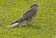 Merlin. On grass Stock Images