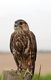 Merlin bird of prey Royalty Free Stock Image
