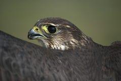 MERLIN, columbarius de Falco, verticale d'esmerejon Photographie stock