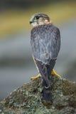 MERLIN, encaramado en una roca Foto de archivo libre de regalías