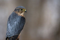 Merlin Eye Contact. A profile shot of a Merlin & x28;Falco columbarius& x29 Stock Photography