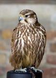 Merlin fêmea Fotografia de Stock Royalty Free
