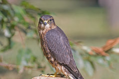 Merlin (falco columbarius) Stock Photos