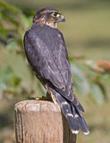 Merlin (falco columbarius). Merlin falcon portrait on  fence post Stock Photo