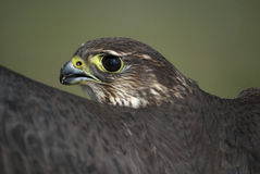 Merlin, Falco columbarius, esmerejon Portrait Stock Photography