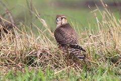 The Merlin Falco columbarius female portrait. The Merlin Falco columbarius female close up portrait Stock Photos