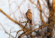 The Merlin Falco columbarius female portrait. Rear view Royalty Free Stock Photo